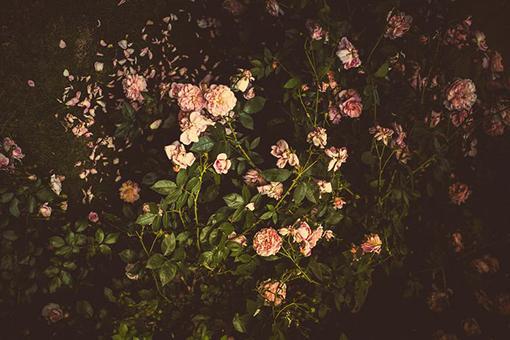 haag van roze rozen tegen donkere achtergrond inspiratie uitvaart1001lichtjes